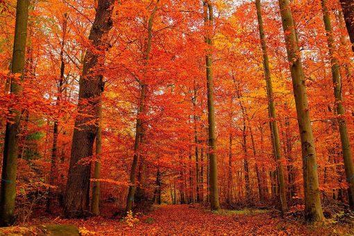 Vinilo Bosque Otoño Rojo